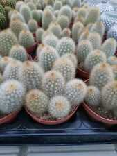 Haageocereus pseudomelanostele 10,5cm pot Sämling/seedling GROUP