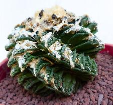10 Ariocarpus fissuratus var. hintonii SUPER SPIRALIS very rare seeds semillas