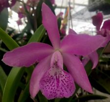 "Orchid Plant Live Bc. Punacea ""Lea� / Bare Root"