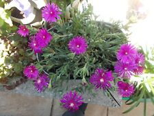 Delosperma cooperi-moonstone-hardy ice plant-10.0 cms p0t size-purple flower