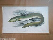 ANTIQUAIRE Sharp nez ANGUILLE POISSON imprimé coloré c1880, poissons/Pêche À La Ligne/Pêche