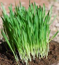 10000+ Oatgrass seeds One Pound Oat Grass Catnip Dog Pets Catgrass Semilla Avena
