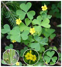 25 Organic Yellow Wood-Sorrel Seeds ~Oxalis stricta~ Edible, Medicinal & Tea.