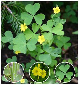 10 Organic Yellow Wood-Sorrel Seeds ~Oxalis stricta~ Edible, Medicinal & Tea.