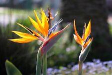 Oiseau de Paradis! Belle Tropical Fleur! Hardy, rare Fresh Seeds!