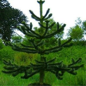 Monkey Puzzle Tree - Araucaria Araucana - XXL Specimen 75-100cm Tall Garden