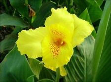 *UNCLE CHAN* 15 SEED YELLOW CANNA LILY RARE COLOR TROPICAL PLANT STUNNING