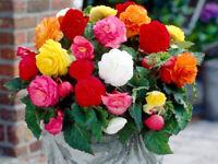 Seeds Wax Begonia Mix Large Flower Indoor Garden Beautiful Perennial Ukraine