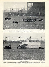 BORDER COLLIE DOGS WORKING AT SHEEPDOG TRIALS ORIGINAL 1934 DOG PRINT PAGE