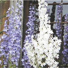50+   CAMPANULA  PYRAMIDALIS  WHITE  aka CHIMNEY BELL /  PERENNIAL  FLOWER SEEDS