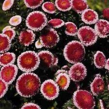 Aster -Pompon - Hi-no-maru-Red - 50 Seeds- Bogo 50% off Sale
