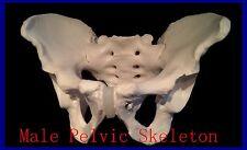 Professional Life Size MALE Pelvic Skeleton, male Pelvic Medical, Anatomical UK