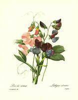 Vintage SWEET PEA Botanical Print Redoute Pink Flower Cottage Decor pjr 3187