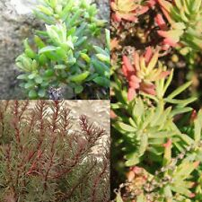 AUSTRAL SEABLITE (Suaeda australis) SEEDS 'Bush Tucker Plant'