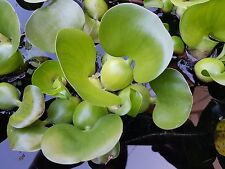 25 Large Water Hyacinth for your Koi pond