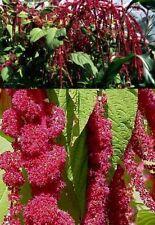 Amaranth hopi red blühende winterharte Pflanzen Blumen für den Garten Deko Samen