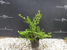 Plants Buxus 140mm pot size $5-50ea  approx 35cm hgt  Gr8 Size  GOOD VALUE