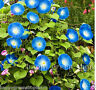 TALL MORNING GLORY - Heavenly Blue - Ipomoea purpurea 120 SEEDS - ANNUAL FLOWER