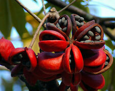 Sterculia Foetida Tree 5 Seeds, Java Olive, Wild India Almond, Ornamental Peon