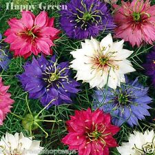 LOVE IN A MIST - Miss Jekyll - 1000 SEEDS - DOUBLE MIXED - Nigella damascena