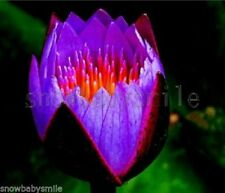 10 Purple Fire Bonsai Lotus Seeds Bowl Pond Aquarium Flower Small Water Plant