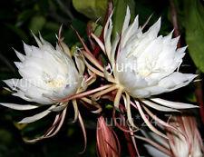 Epiphyllum Oxypetallum 50 CUTTINGS Fragrant Orchid Cactus Cereus Queen Of Night