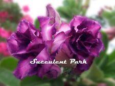 """Rosy Adenium Obesum (Desert Rose) """"Purple Rain"""" grafted plant"""