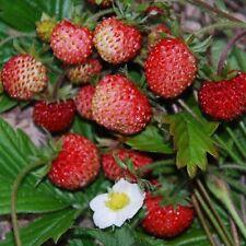 Herb - Suffolk Herbs - Alpine Strawberry - Fragaria vesca - Pictorial Packet