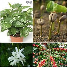 10 semillas deCoffea arabica pelados, las semillas sin cáscara café fresco S