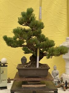 Joe Bonsai Jap.mädchen Pine 40 Years Bowl Pine Organic Pino Pinus 6-7 CM Stem