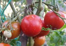 Glacier Tomato - 10 Seeds!