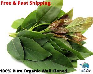 Avocado Leaves Dried Organic 200+ leaves Hojas de Persea Leaf Persea Americana