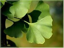 Ginkgo biloba 10 Sa. Fächerblattbaum Urzeitbaum Tempelbaum Heilpflanze Entenfuß