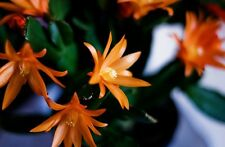 Tiger Orange Easter Cactus Cutting, Christmas Rhipsalidopsis Schlumbergera Plant