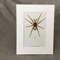 1900 Antik Aufdruck Spinnen Spinnennetz Spinnentier Crustulina Bugs Insekten