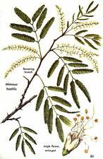 20 Wild-harvested Mimosa hostilis SEEDS Jurema/Ayahuasca herb organic tenuiflora