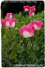 Papaver somniferum 'Kykeon Pink & White' 300+ SEEDS