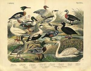 1868 SWAN GOOSE WILD DUCK SNOW GOOSE BIRDS Antique Hand Color FOLIO Print Kolb