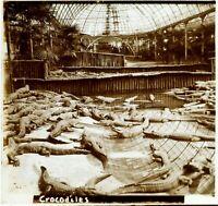 FRANCE Paris Zoo Crocodiles c1910, Photo Stereo Vintage Plaque Verre VR7L7
