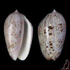 Oliva incrassata, W Mexico, Olividae sea shell
