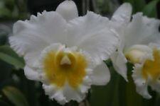 BIN) Blc Burdekin Wonder 'Lakeland' Cattleya Orchid Plant 2 1/5 Inch Pot