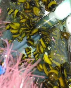 5 x ZEBRA HORN NERITE SNAIL CLITHON DIADEMA ALGAE EATER AQUARIUM FISH TANK PLANT