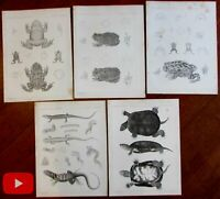Frogs turtles lizards reptiles c.1857 lithographed prints lot x 5 USPRRS