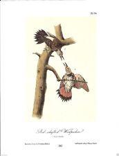 Red-Shafted Woodpecker Vintage Bird Print by John James Audubon