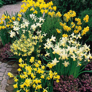 50 x Mixed Dwarf Rockery Narcissi Daffodil Bulbs - FREE P&P - Spring Flowering