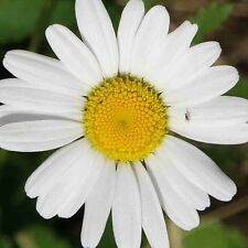 2000 CHAMOMILE SEEDS MATRICARIA RECUITA Daisy Sedative Easy NON-GMO Heirloom USA