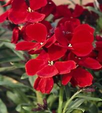 80 graines de RAVENELLE ROUGE (Cheiranthus Cheiri BLOOD RED)X08 SEEDS SEMILLAS