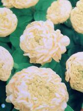 Emperor Jasmine plant