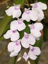 Ionopsis utricularioides Flowers Mounted cypress wood Species 1/11/21
