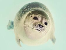 ANIMAL SEAL SWIM CLOSE UP FACE LARGE WALL ART PRINT POSTER PICTURE LF1916
